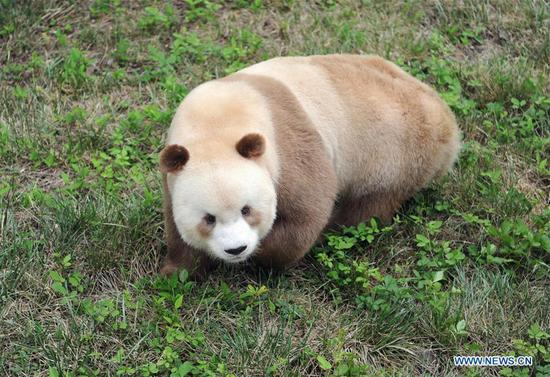 Rare brown panda to become father