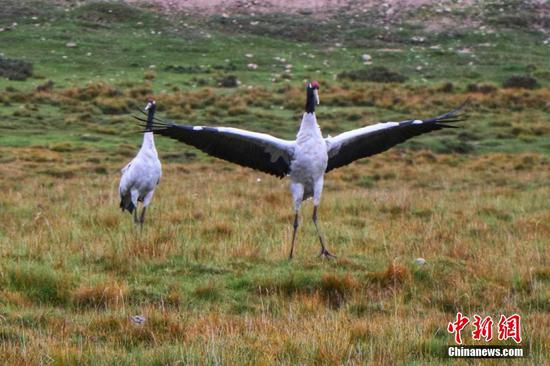 Rare black-necked cranes thrive in Gansu