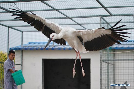 Two oriental white storks to be released into wild