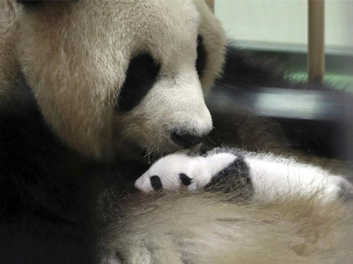 Japan-born panda cub makes public debut in Wakayama