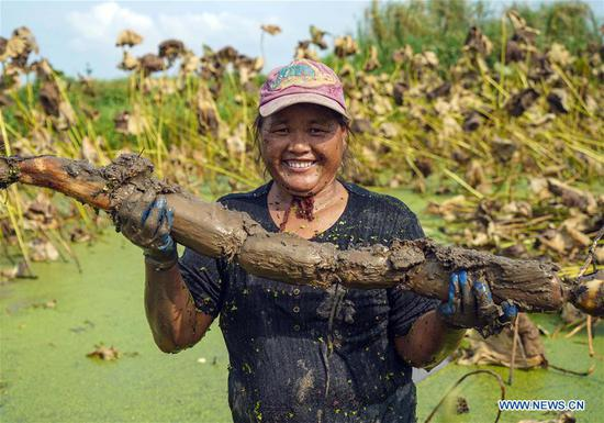 Autumn harvest of lotus roots underway in Hubei