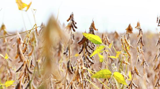 Chinese farmers willing to increase domestic soybean production
