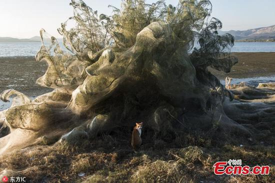 Giant spiders' web covers Greek beach