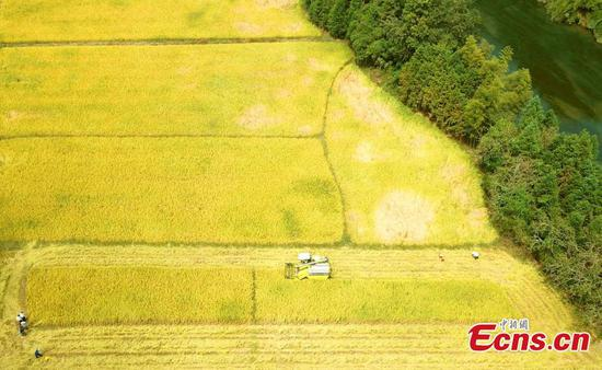 Bumper rice harvest in eastern granary county