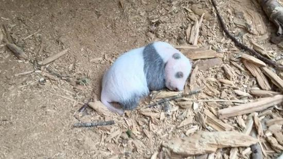 First wild panda cub spotted at Dafengding Nature Reserve in SW China