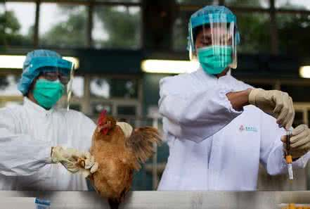Chinese scientists find vaccine effective in combating bird flu, but new risks among ducks