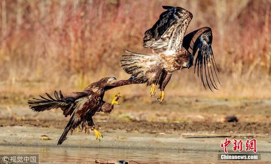 Bald Eagles in fierce fight over fish