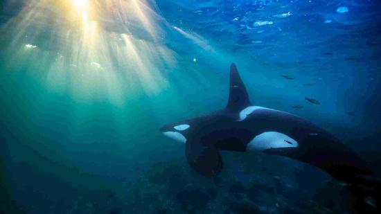 A banned chemical is wiping out killer whale population