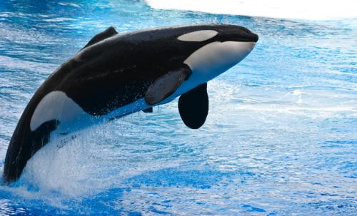 Half of world's killer whale population threatened by chemical pollution: study