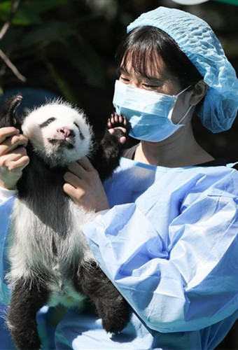 12 giant panda cubs meet public in Chengdu