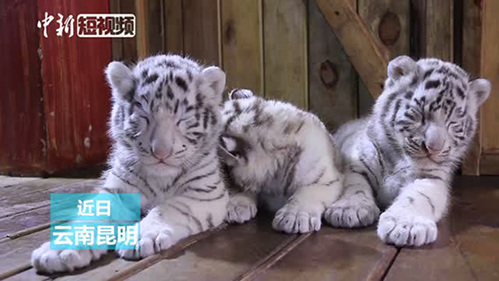 White tiger cub triplets meet the public