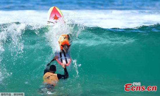 Surf City Surf Dog competition at Huntington Beach
