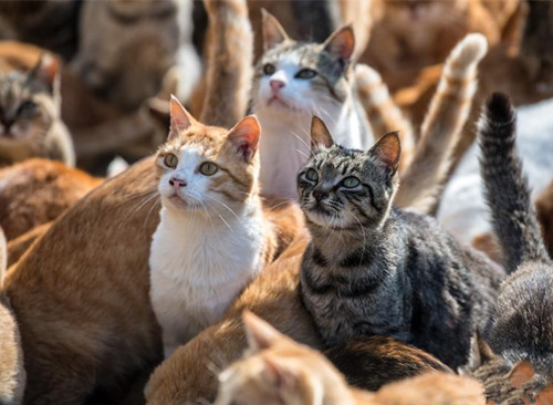 Aoshima, the Japanese island taken over by cats