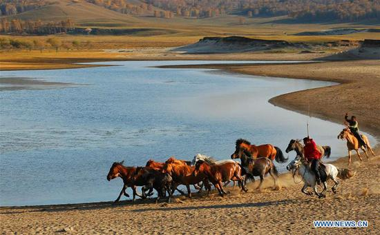 Horses taming on grassland in N China's Inner Mongolia