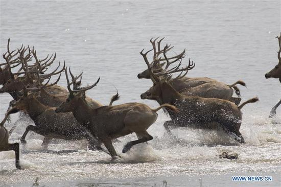 Herd of milu deer on wetland in east China's Jiangsu