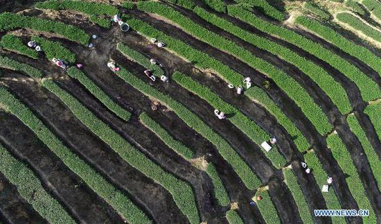 Tieguanyin autumn tea enters harvest season in Fujian