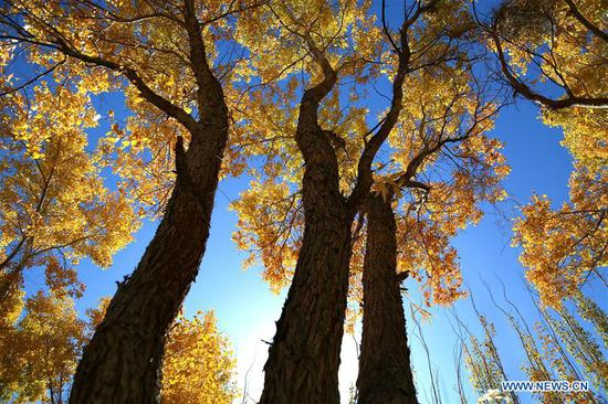Autumn scenery of forest of populus euphratica