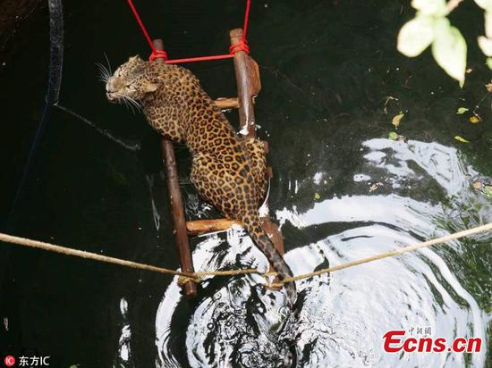 Leopard rescued from well in Indian village