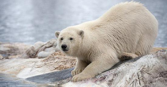 Whale-eating polar bears have dwindling food source: study