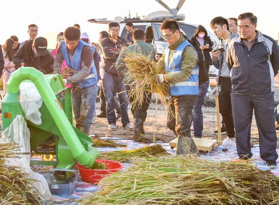 Researchers put ears of rice into a thresher to calculate the yield of seawater rice in Qingdao, Shandong province, on Wednesday. (Photo/China Daily)