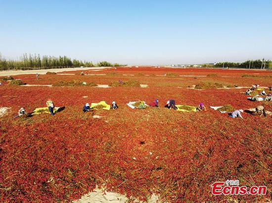 Xinjiang embraces chili harvest season