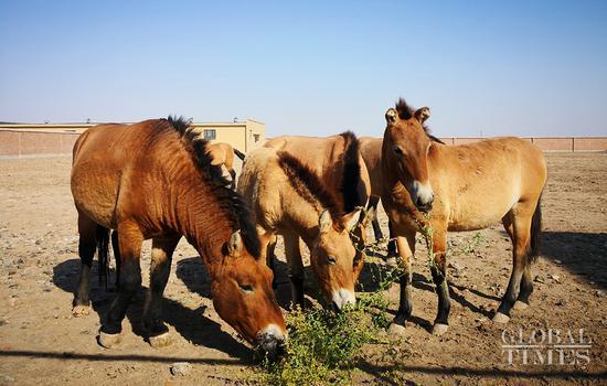 Rare Przewalski's horses seen in Xinjiang Uyghur Autonomous Region