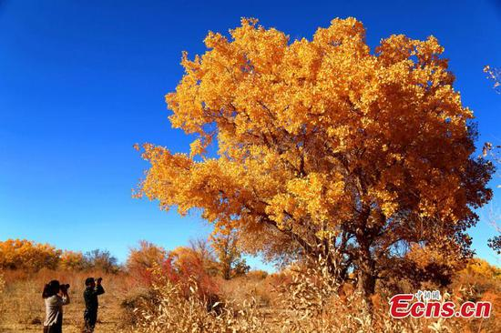Golden leaves draw tourists to northwestern county