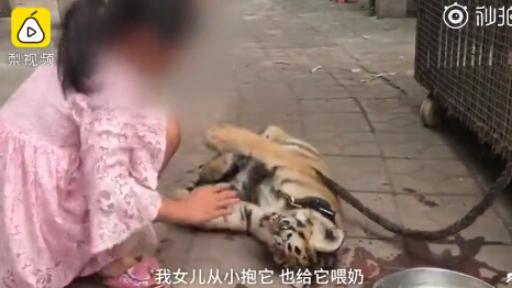 9-year-old girl takes rare Siberian tiger cub for walk in park
