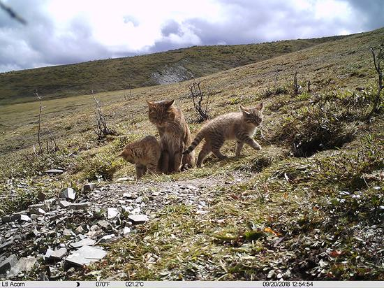 Chinese mountain cat with its kittens in China's Qinghai