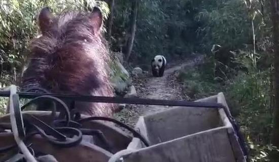 Giant panda drives away horse in nature reserve of northwestern China