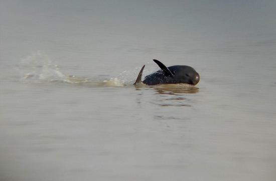 A finless porpoise pictured by a member of the squad on Poyang Lake. (Photo/XINHUA)
