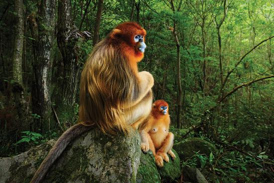 Award-winning picture raises profile of endangered Chinese monkey