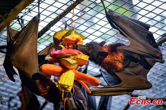 Malayan flying fox entertain visitors at Chimelong Safari Park