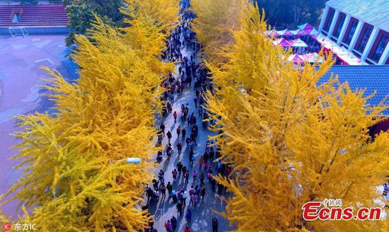 银杏树吸引游客到大学