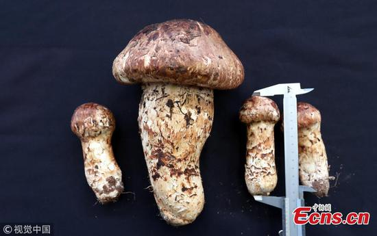 Prized matsutake weighs 900 grams