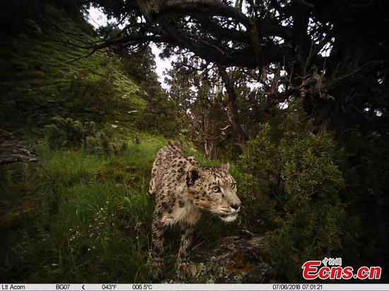 60% of world's snow leopard habitats located in China: report