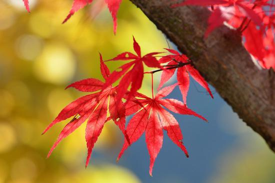 Red leaves brighten autumn landscape in Hubei
