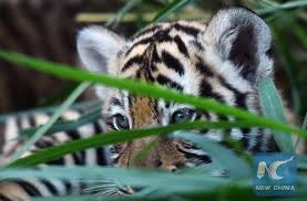 Six tiger subspecies confirmed by genetic study