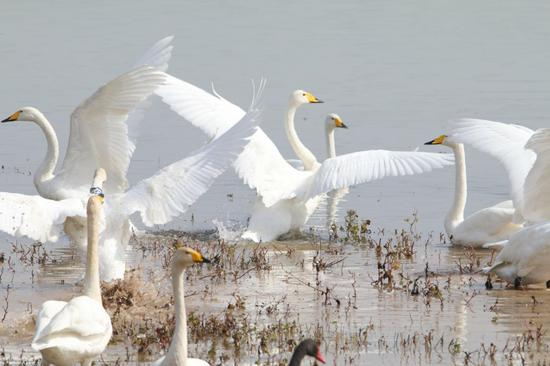 White swans migrate to Sanmenxia to spend winter