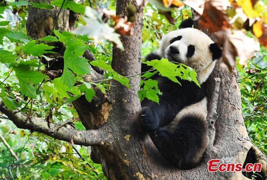 Giant panda enjoys autumn fun in Chengdu