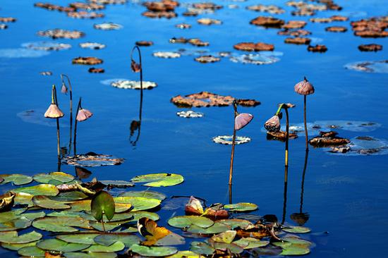 Lotus flowers attract visitors to Shifosi reservoir in Liaoning