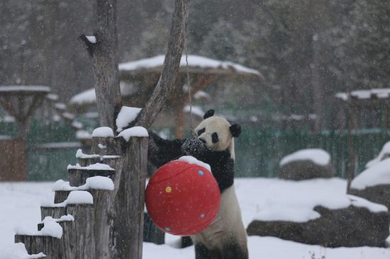 Pandas enjoy first snow in NE China