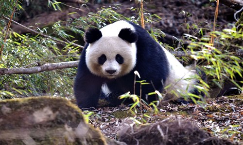Panda park to strictly limit human activity