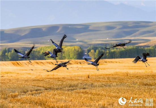 Migratory birds flock to Xinjiang's Zhaosu in autumn