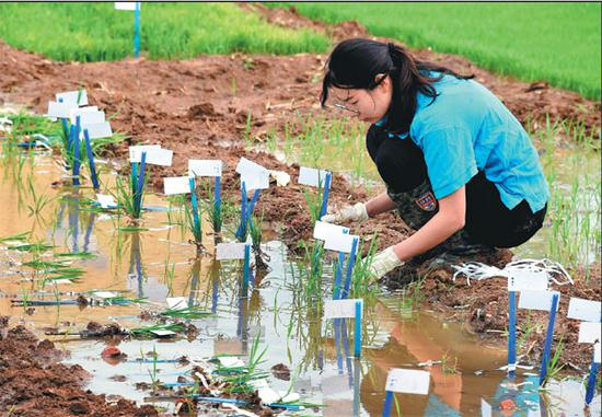 A technician collects rice seedlings for transfer to a salinity test field at the Qingdao Saline-Alkali Tolerant Rice Research and Development Center. [Photo/Xinhua]