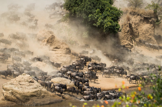 Wildebeests undertake their annual migration from the Serengeti National Park in Tanzania to greener pastures in Kenya. (Photo by Zheng Yang/Provided to China Daily)