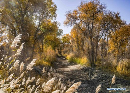 Scenery of desert poplar trees along Tarim River in Xinjiang