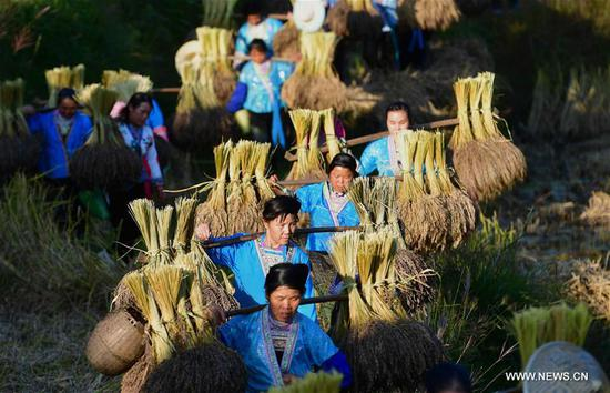 Purple glutinous rice harvested in Guangxi