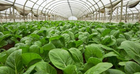 Major vegetable base upgrades tech as quality demand rises