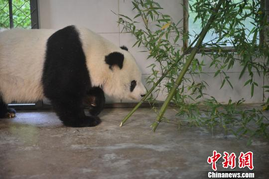 Gao Gao returns to the Chinese Center for Research and Conservation for the Giant Panda in Dujiangyan, Sichuan province, Nov. 1, 2018. (Photo/China News Service)